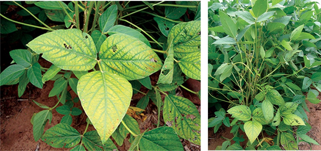 Manganese deficiency, photo courtesy of Dr. Bobby Golden, Mississippi State University.